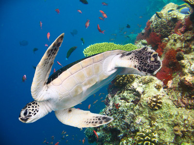 GREEN TURTLE - HAWAIIAN ISLANDS