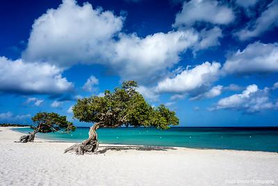Aruba Divi Trees