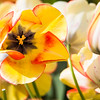 Tulip 9
