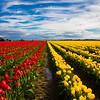 Tulip 39