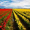 Tulip 40