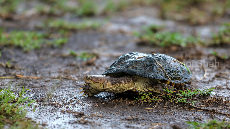 The African Helmeted terrapin showing it front foot claws for tearing apert prey in Masai Mara.