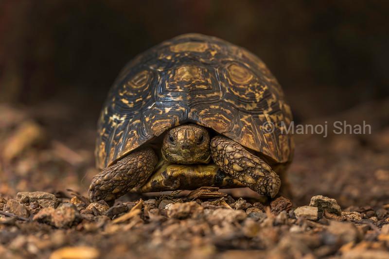 Leopard tortoise in Masai Mara.