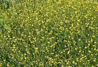 Mustard Plants Abound