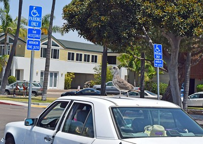 Handicapped Seagull at Bali Hai
