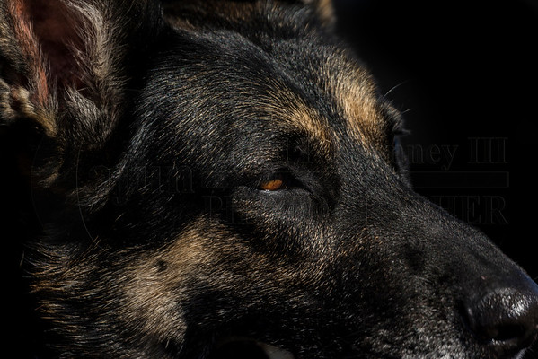 TVWDA Jan 24th 2015 (German Shepherd Dogs)