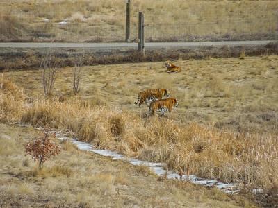 A few Tigers