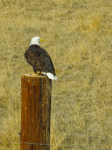There were lots of Bald Eagles around in the AM