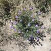 Dog Canyon wild flowers