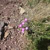 Wild flowers Lost Mine trail, Big Bend NP