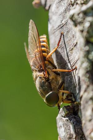Dark Giant Horsefly - Hesteklæg