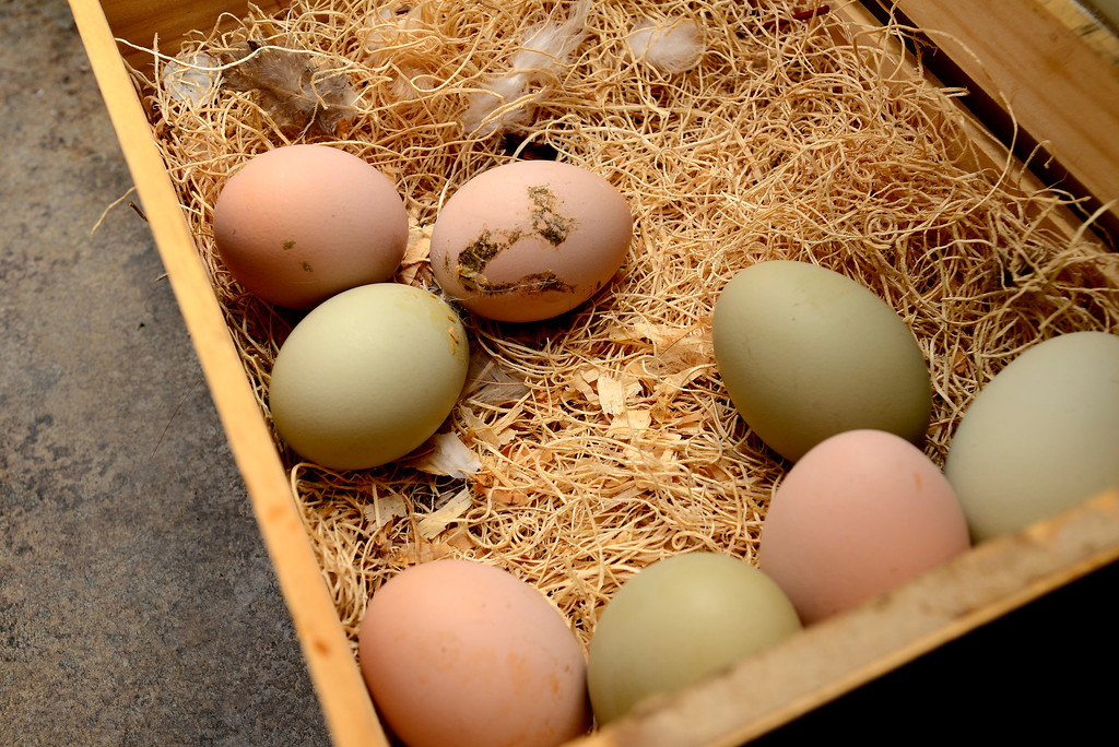 . Eggs from Tabitha Farrar\'s backyard chickens that went into the quiche she make in her Boulder home on Thursday. For more photos go to www.dailycamera.com Paul Aiken Staff Photographer Feb 16 2017