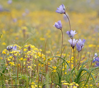 An abundance of wildflowers can now be seen in full bloom at Table Mountain in Oroville, Calif. Thursday April 5, 2018.  (Bill Husa -- Enterprise-Record)
