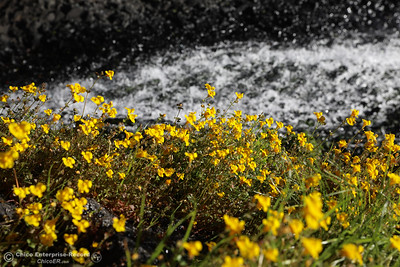 Wil flowers grow next to Hallow Falls, April 1, 2018, in Oroville, California. (Carin Dorghalli -- Enterprise-Record)