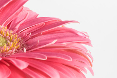 Pink Gerbera Daisy with Water Drops