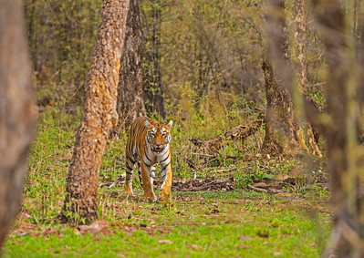Maya - the resident female near the Tadoba Lake