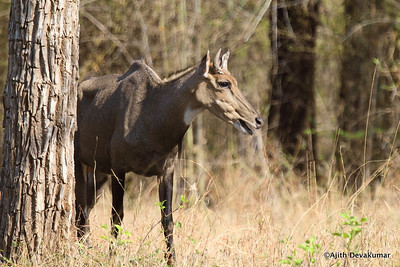 Nilgai - Blue Bull - the largest wild herbivore in India