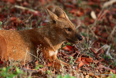 Indian Wild Dog - Dhole (endangered)