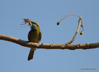 Green Bee Eater - with kill