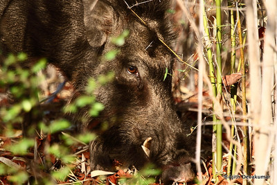 Wild Boar foraging