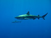 Now diving Bora Bora : Each island and EVERY dive on this entire trip had 20-150 sharks of all types. Unbelievable!