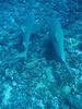 9 foot Lemon Sharks!