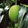 I think that it is breadfruit