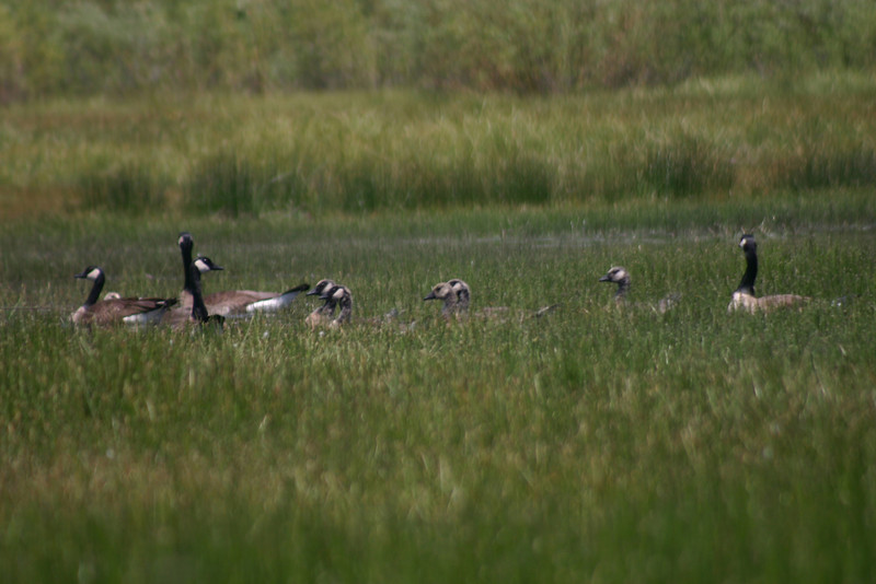 6/15/2008: Canadian Geese