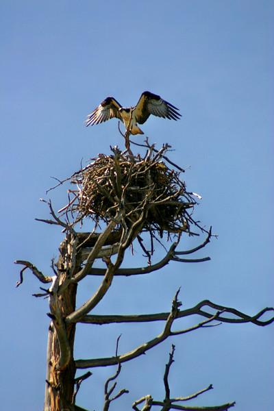 5/10/2009 Osprey Nest