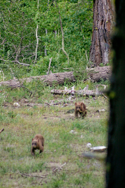 7/7/2009 Tahoma, Bear Cubs