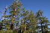 Tahoe Yosemite Trail, Tree Tops