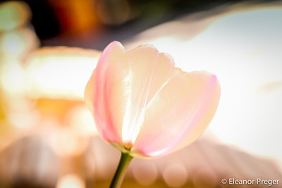 Tulip Head