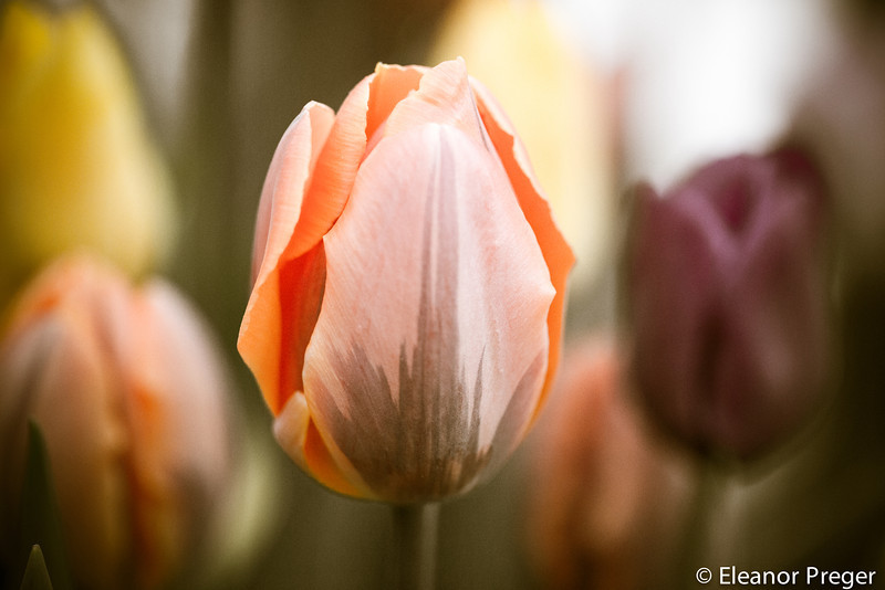 A Sherbert Tulip