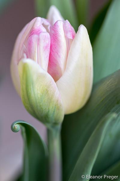 Tahoe Tulip Tendril