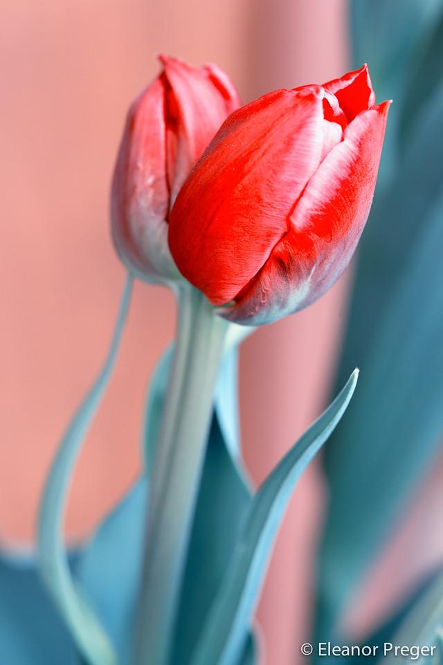 Red Lips Tulip
