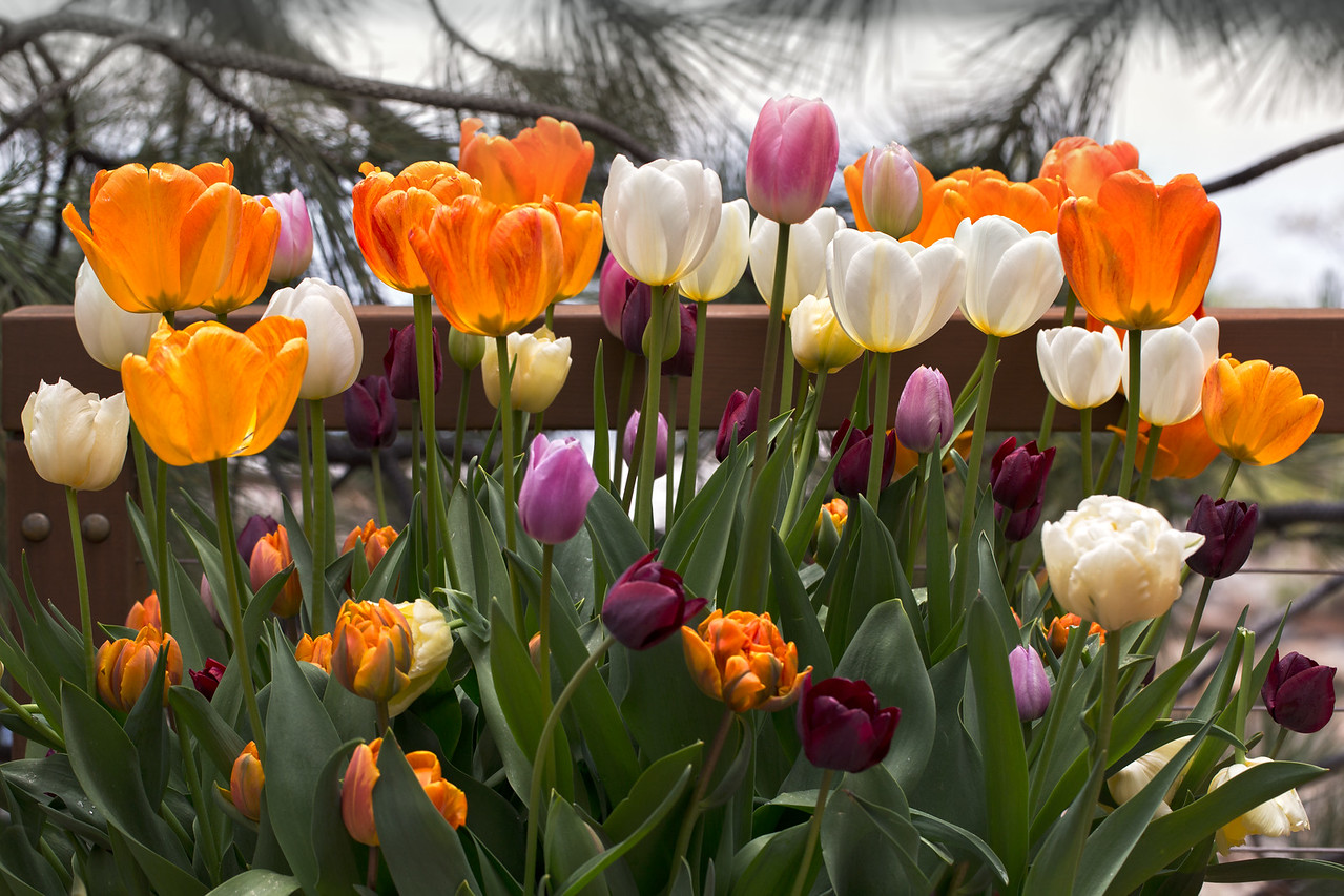 Tahoe Tulips 2015