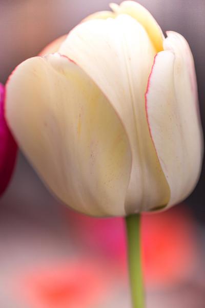 Ivory Tulip