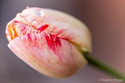 Petals In Dew
