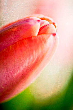A Breath of Tulip