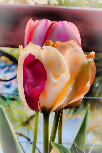She Flips For Tulips