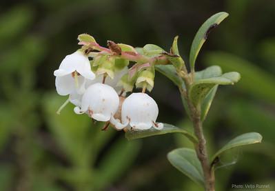 Lingonberry, Vaccinum vitis-idaea