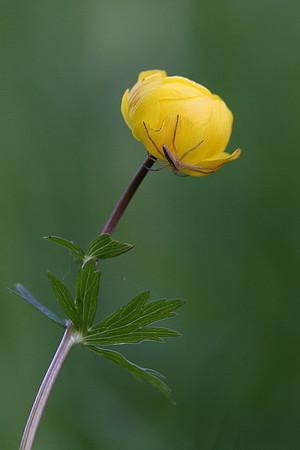 Globeflower, Trollius europaeus