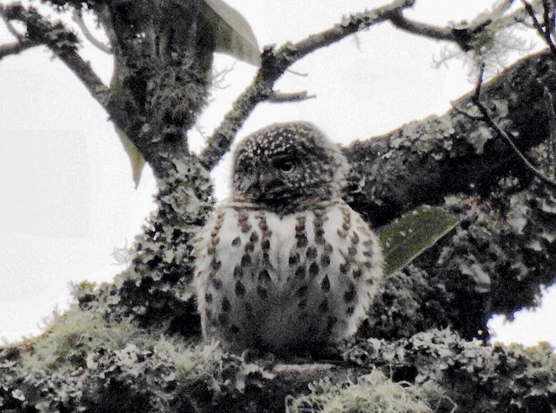 Collared Owlet  鵂鶹