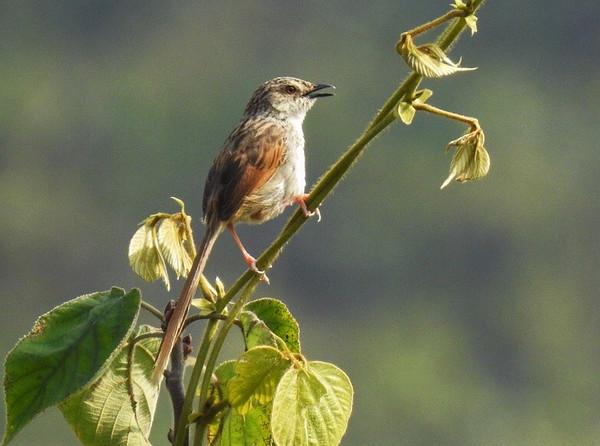 Striated Prinia  斑紋鷦鶯