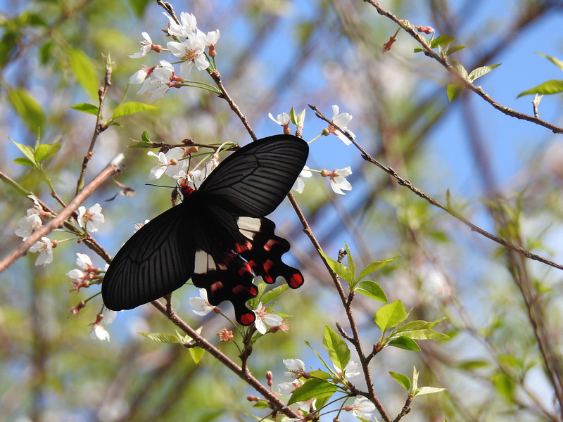 Great Mormon (Papilio helenus fortunius)