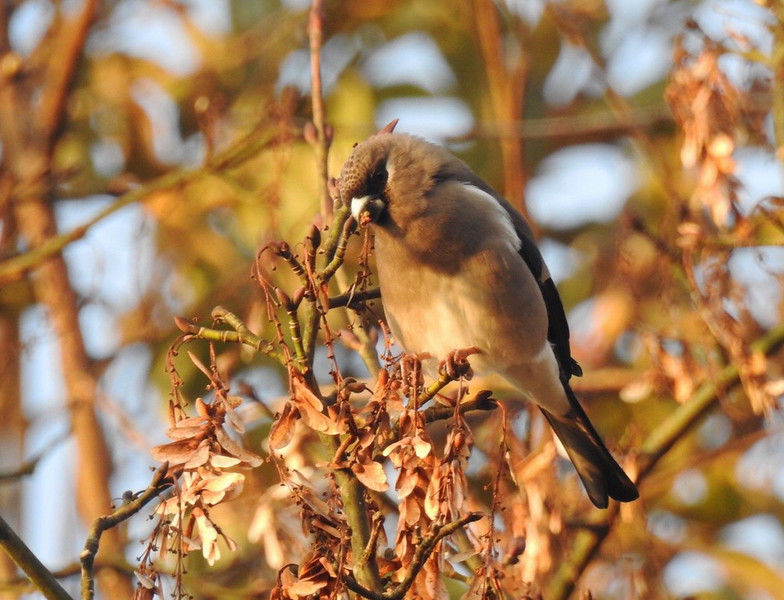 Brown Bullfinch  褐鷽