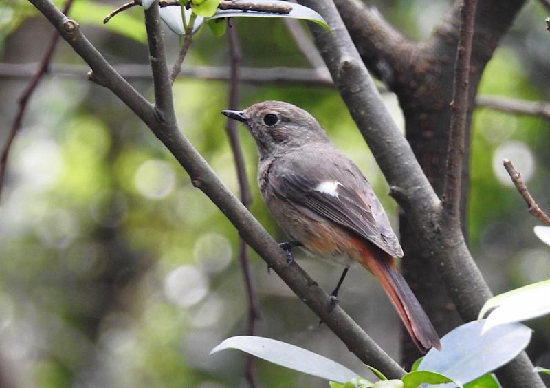 Daurian Redstart  黃尾鴝