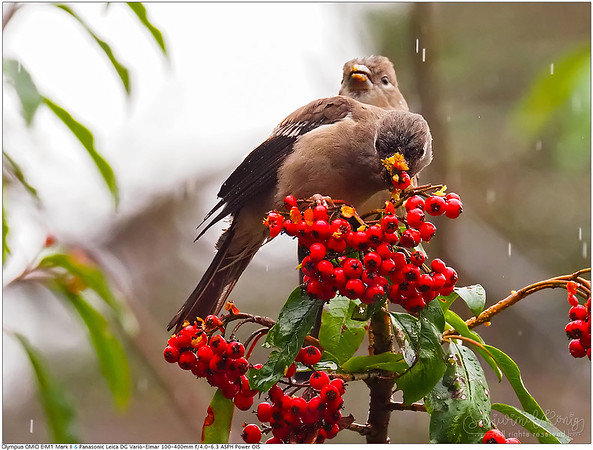 Brown bullfinches with their lunch หม่ำมื้อกลางวัน