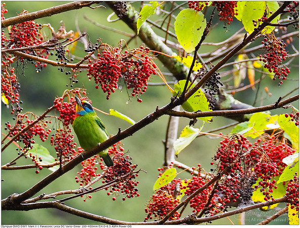 Black-browed barbets on Idesia polycarpa tree นกโพระดกคิ้วดำ