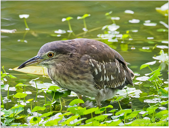 Black-crowned night heron, waiting in a persistent manner hehe  ใจจดใจจ่อมากค่ะคุณ